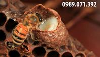 Tìm hiểu về sữa ong chúa tươi nguyên chất