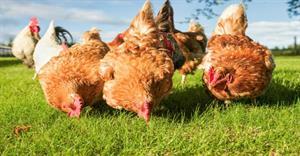 Chuyện bẫy gà và bài học trong đầu tư chứng khoán
