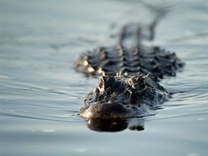 Những điều trader học được từ cá sấu