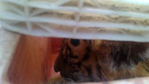 4 con hổ lớn nằm trên xe Camry