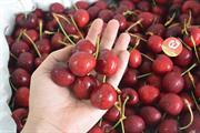 Cherry đỏ Canada
