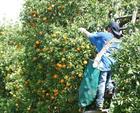 Cam quýt Florida sụt giảm sản lượng đáng kể
